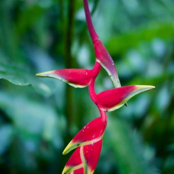 Heliconia flower in garden at Coral Hill Bungalows