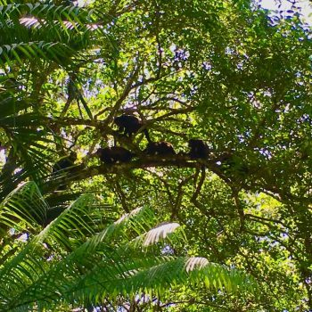 Monkeys in the trees above the bungalows