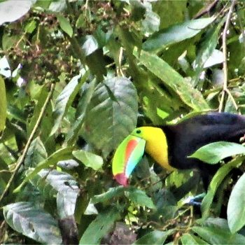 Toucan in tree at Coral Hill Bungalows