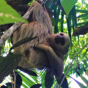 Sloth climbing tree at Coral Hill Bungalows in Costa Rica
