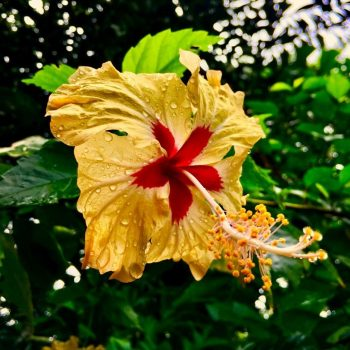 Yellow Hibiscus flower in garden at Coral Hill Bungalows